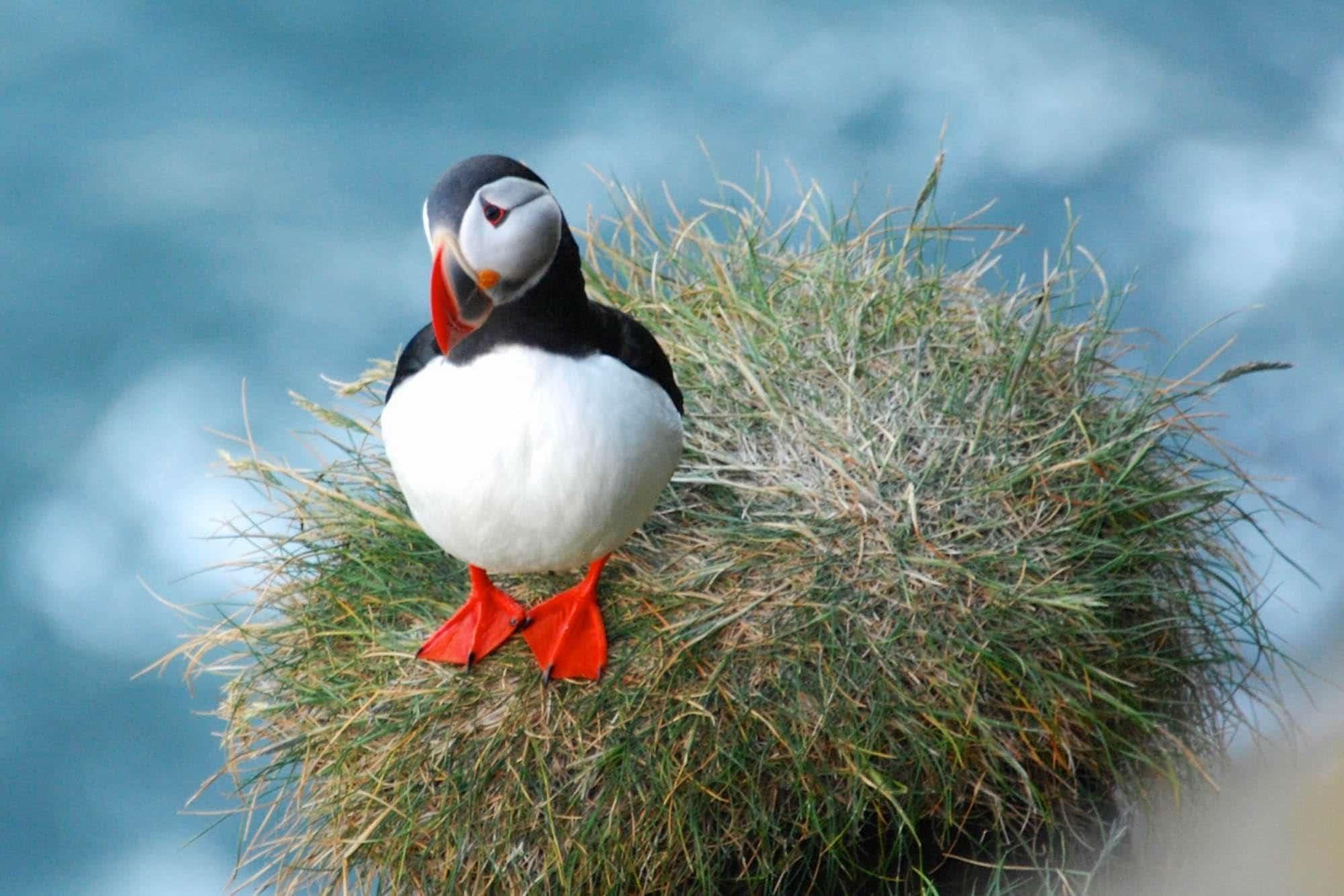 Atlantic puffin - Iceland