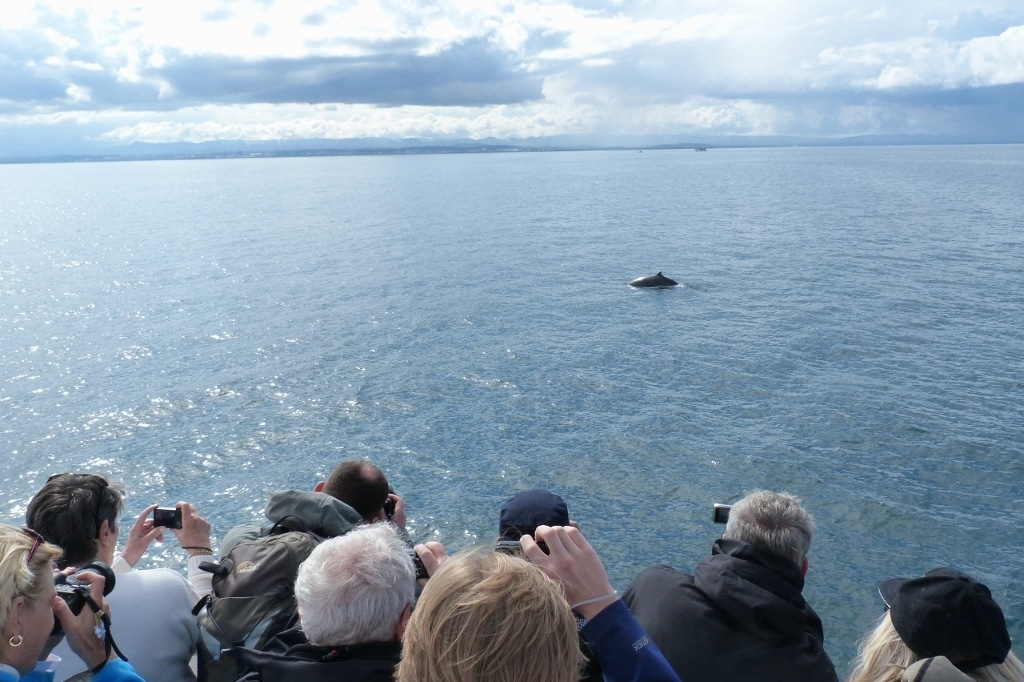 whale watching season icelandjavik