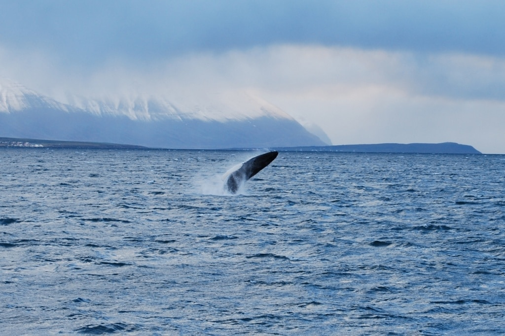 Humpback jumping from ocean in Iceland