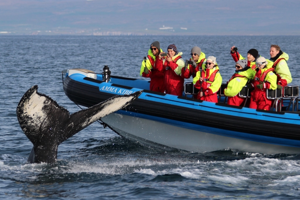Husavik whale watching tour rib boat tour with stop at an island where thousands of puffins nest during summer