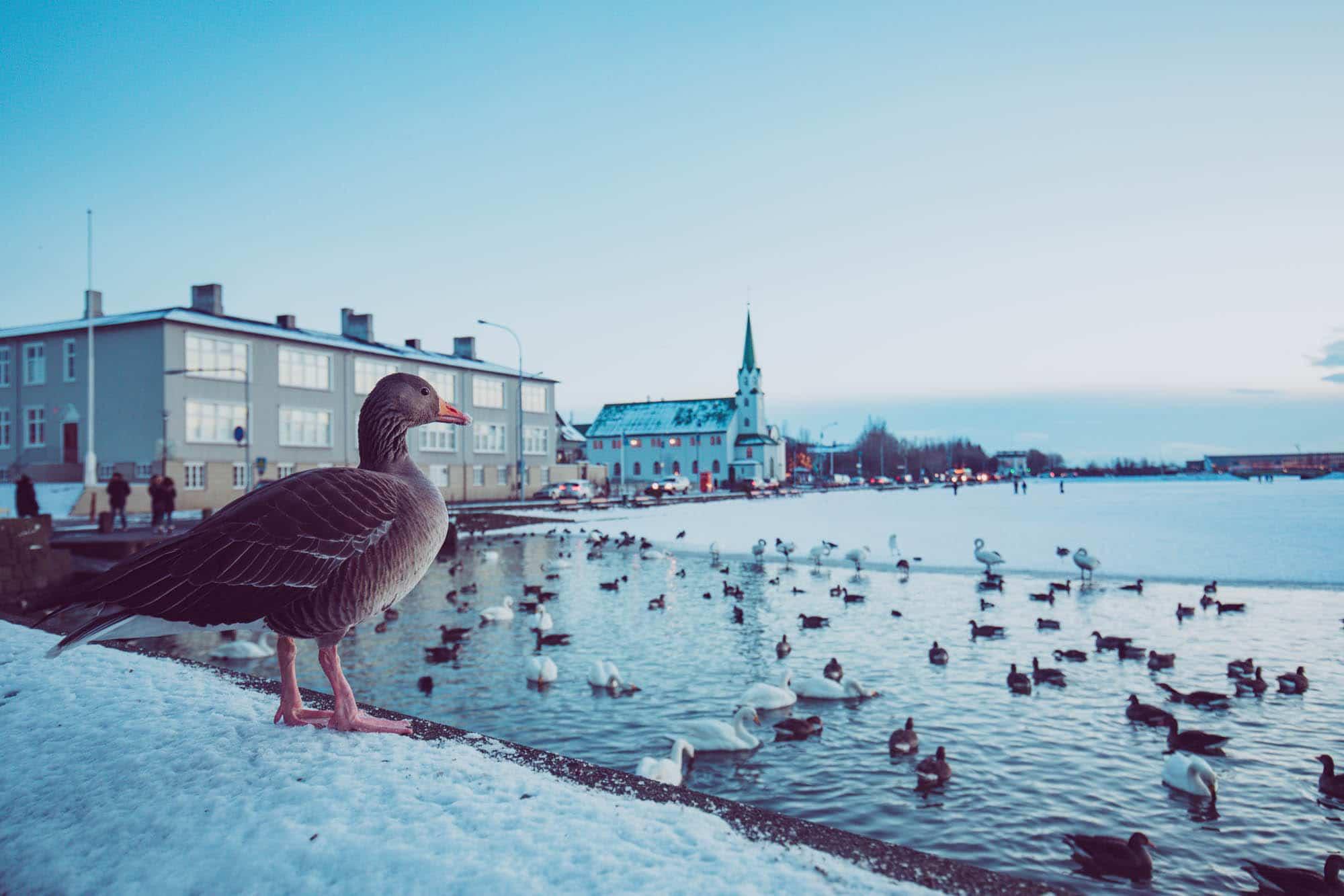 Ducks at the Reykjavík pond - Tjörnin - Iceland with kids