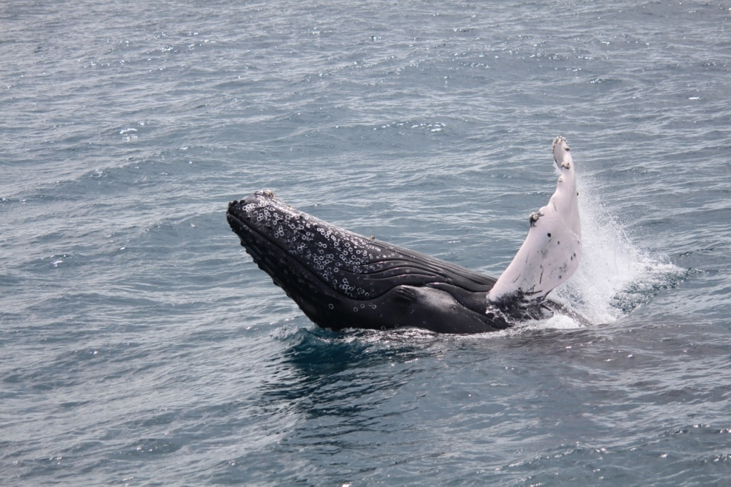 Whale watching tour Iceland - photo by Christina Degener