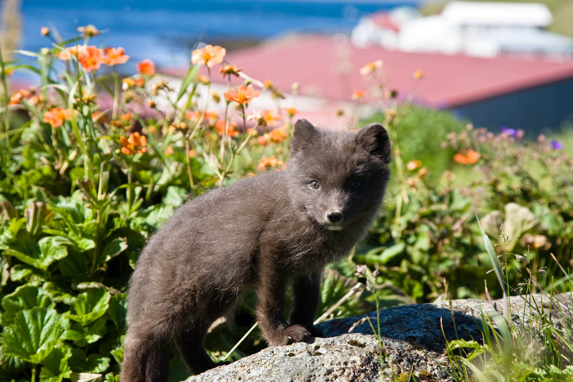 Iceland Arctic fox - Westfjords Iceland