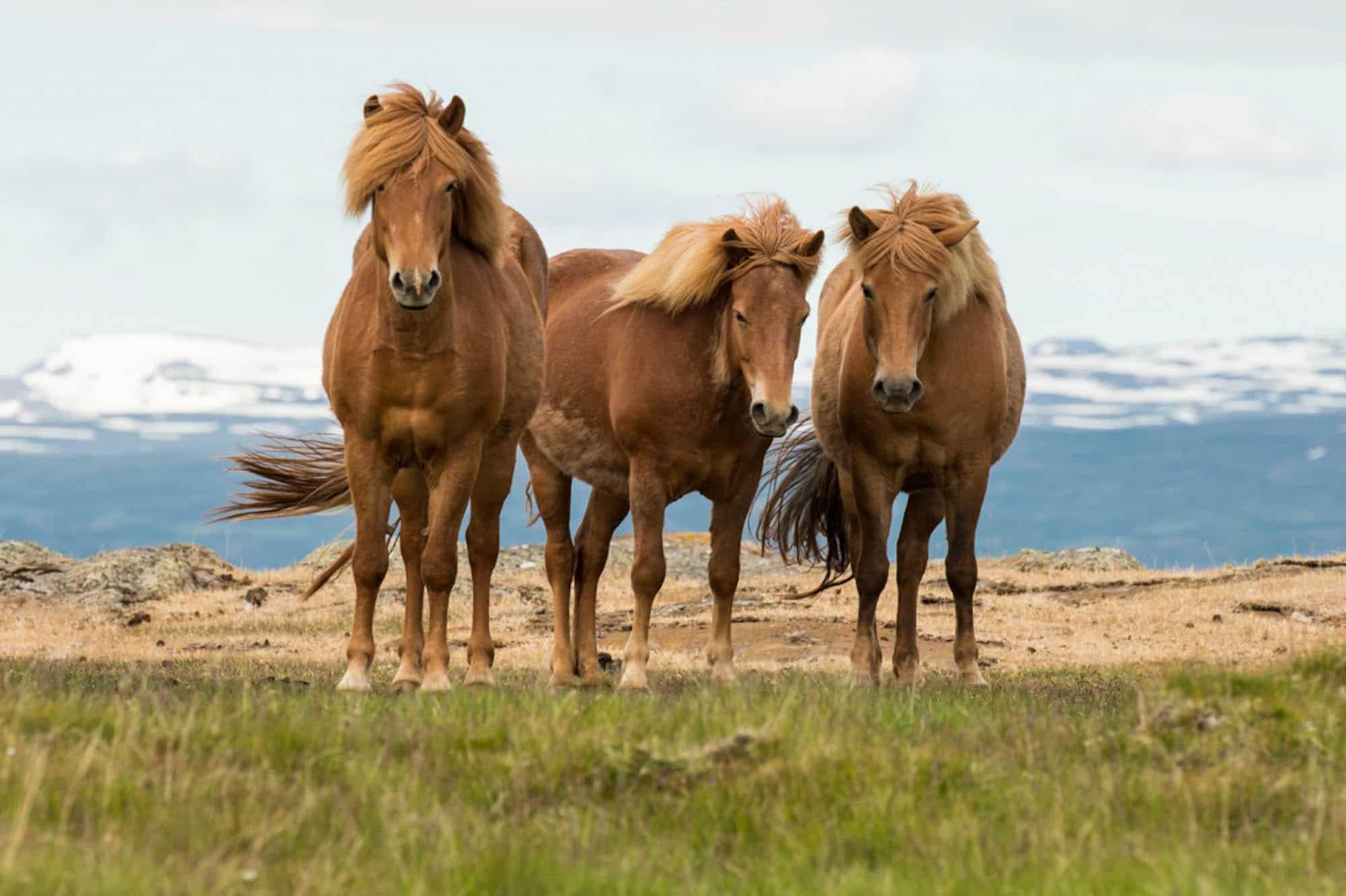 Iceland horse riding tour