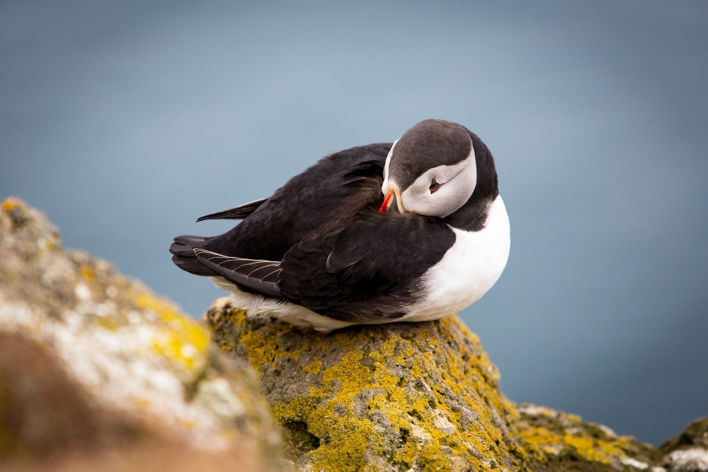 where to see puffins