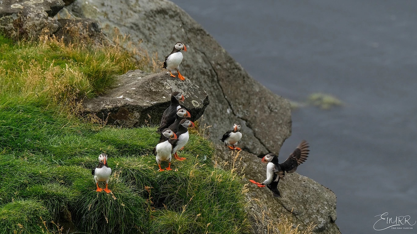 South iceland puffin tour