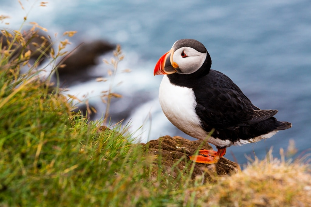 Puffin sitting on the rock - best places to see puffins in Iceland
