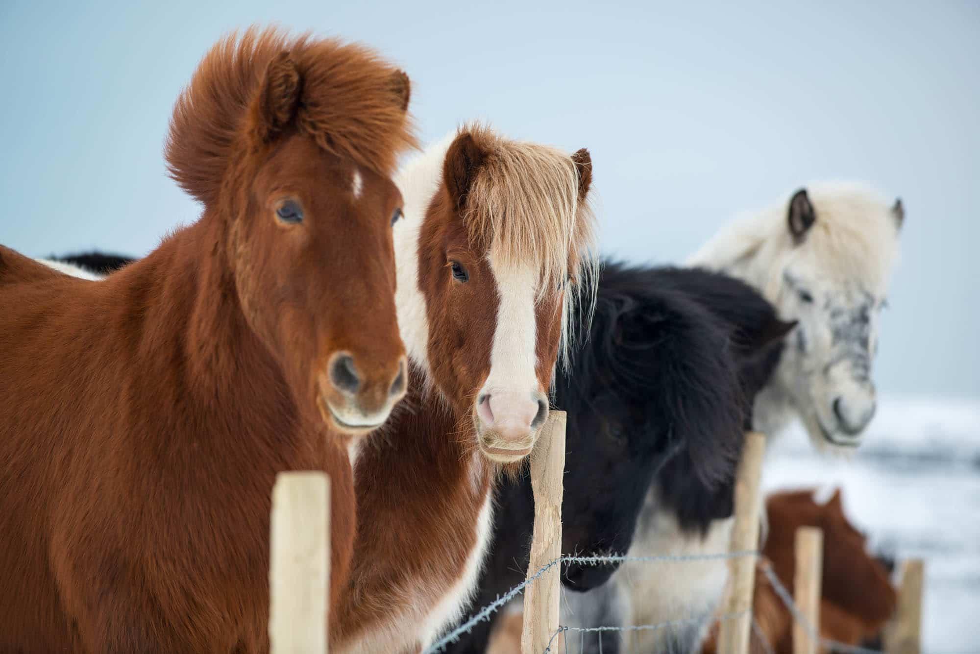 4 Icelandic horses in winter starring into camera