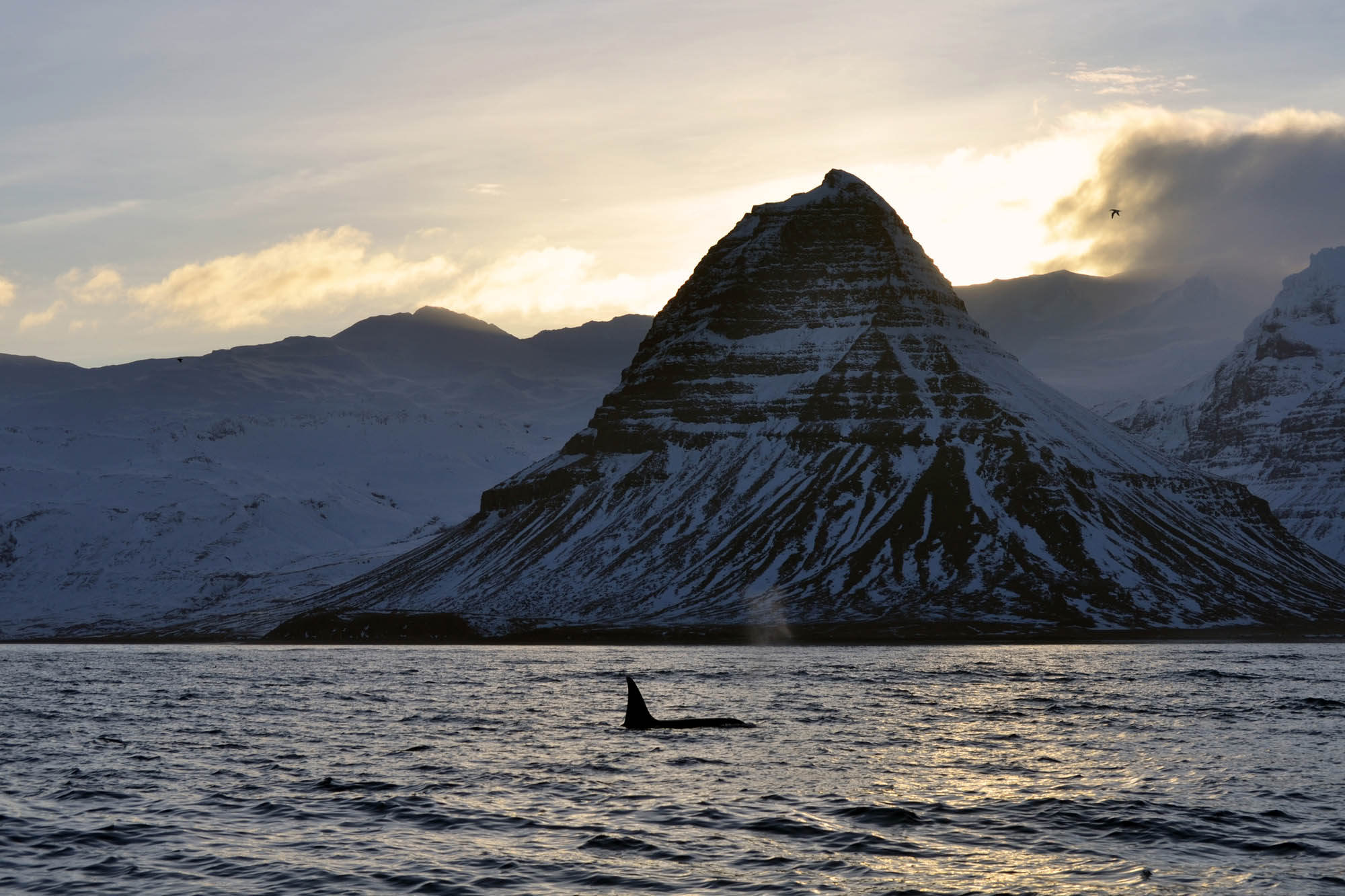 Orca watching Iceland - killer whale near Kirkjufell mountain