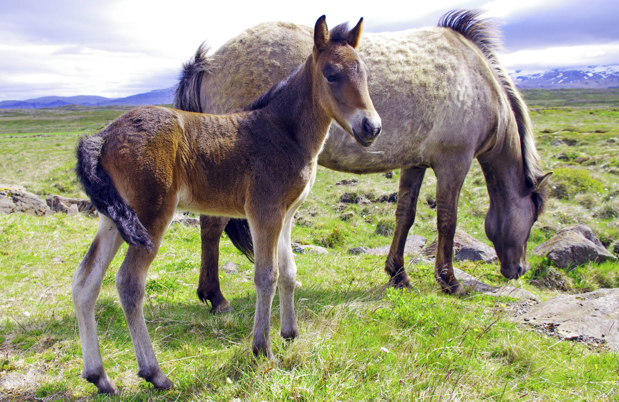 The Icelandic Horse - Iceland with kids