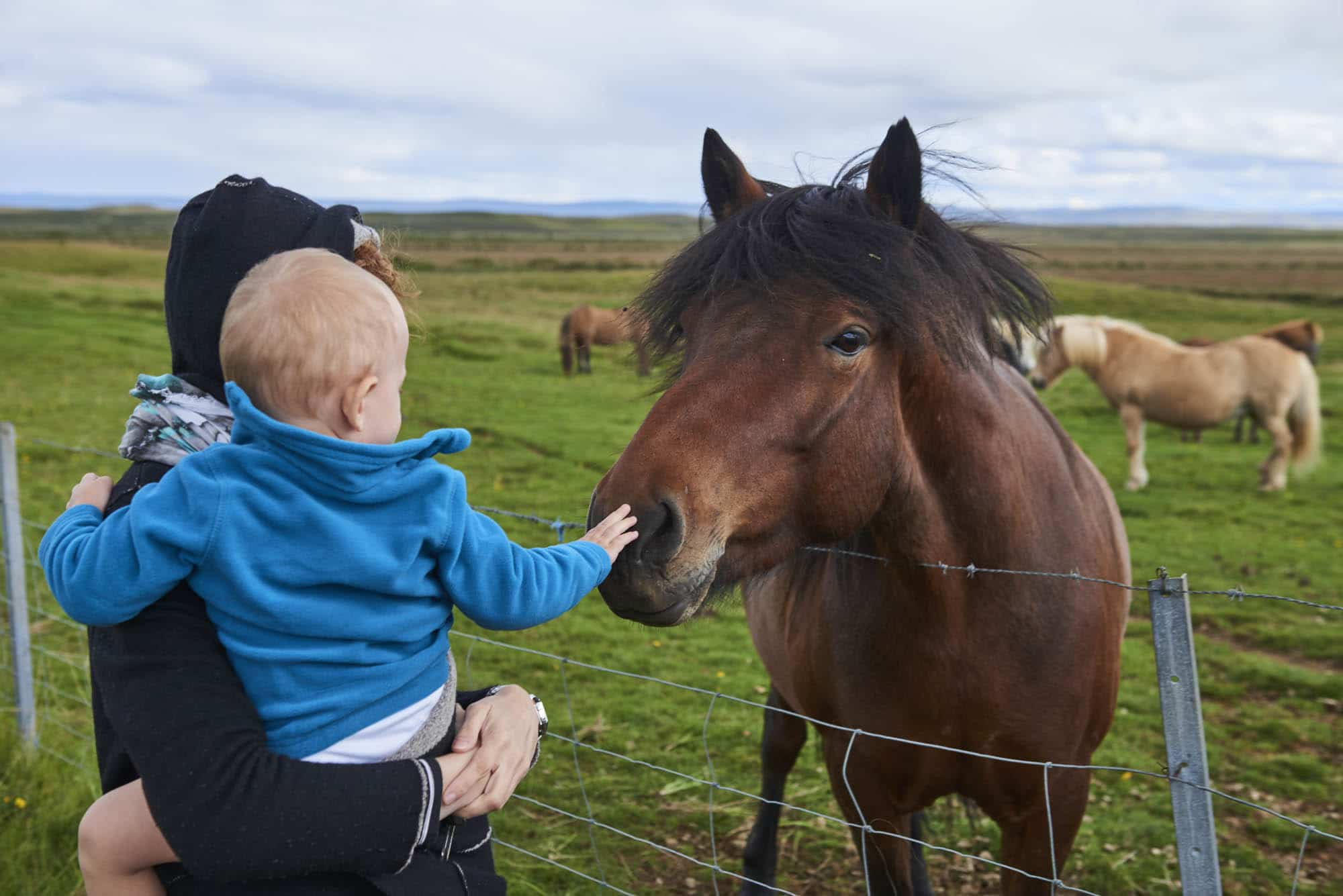 The Icelandic Horse - Iceland with children