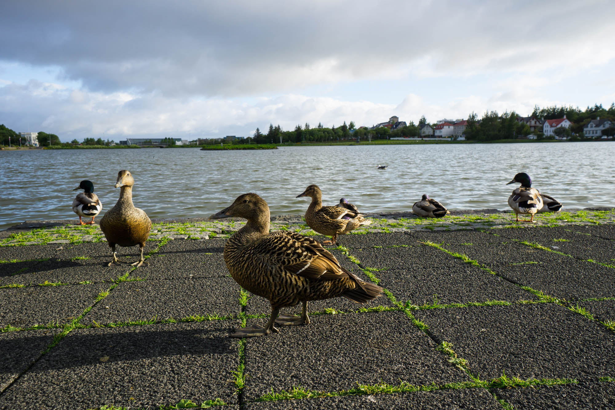 Ducks at the pond in the city center - iceland family holiday