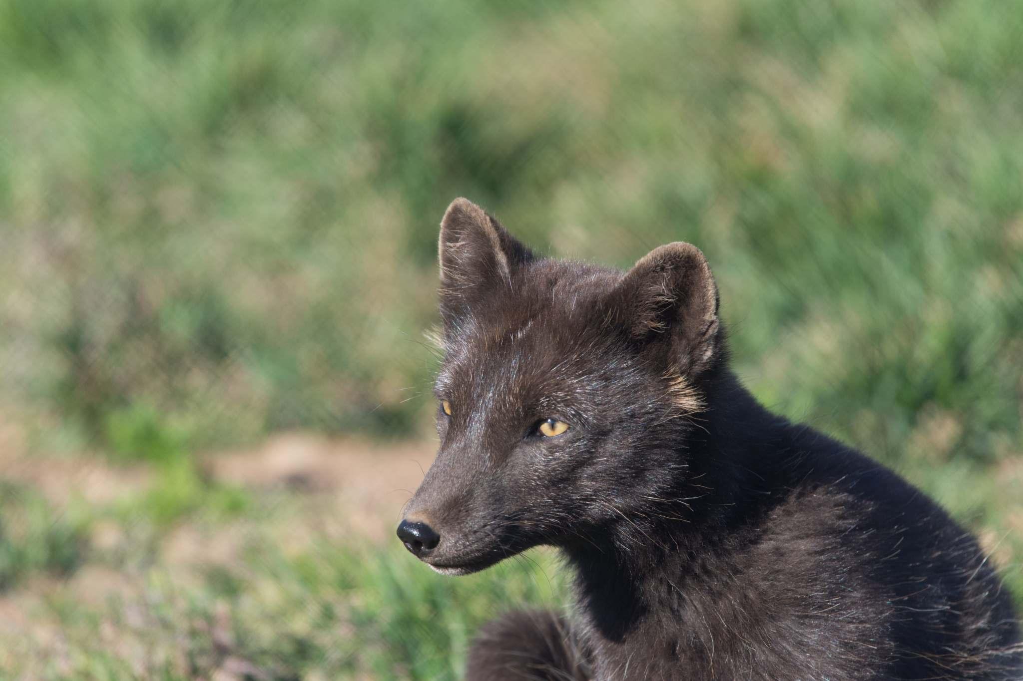 Iceland Arctic Fox - Sudavik Westfjords