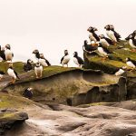 best places to see puffins in Iceland - photo by Oliver Deams