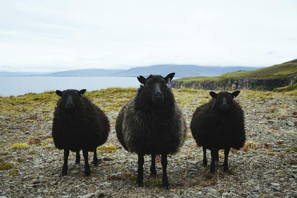 icelandic sheep wool