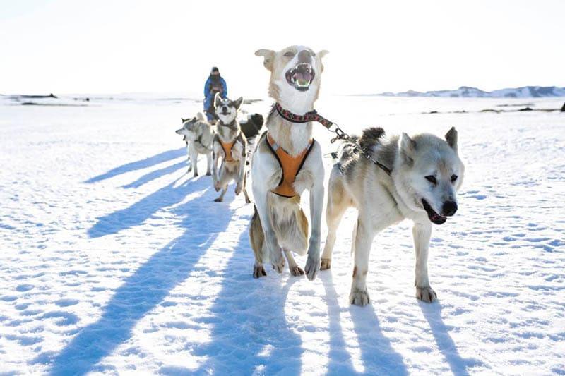 husky sledding iceland in winter
