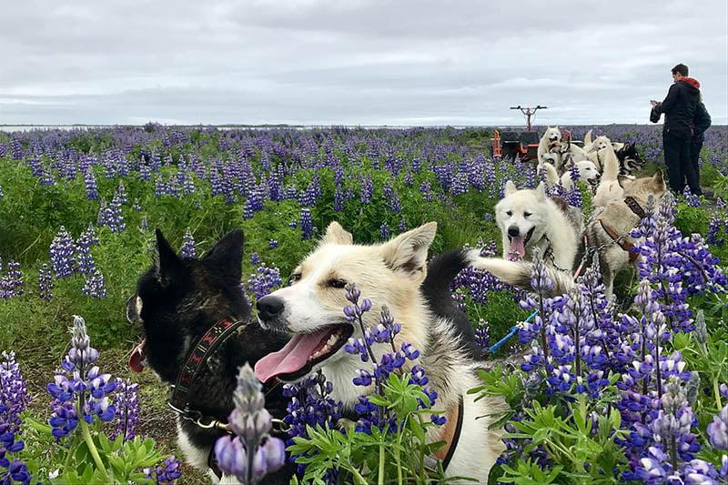 dog sledding from reykjavik