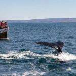 whale watching westfjords